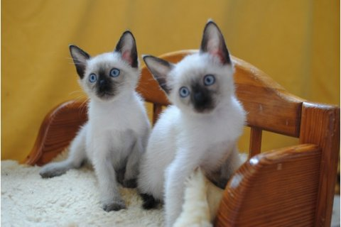 Adorable siamese Kittens Available	1