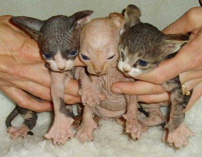 sphynx kittens for sale33