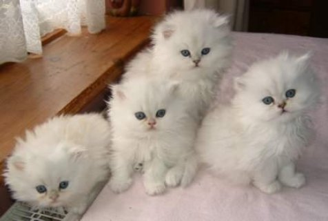 Persian Kittens for Sale33