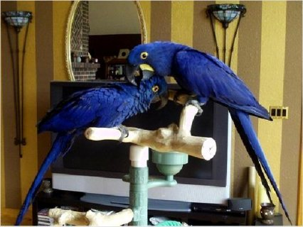 Hyacinth Macaw Parrots MALE AND FEMALE	1