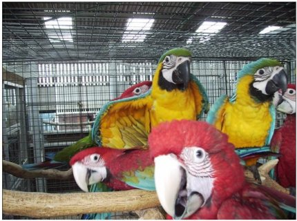 Macaws parrots that are ready to go into a new homes