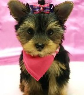 Toy & Teacup Size Yorkies For Sale1