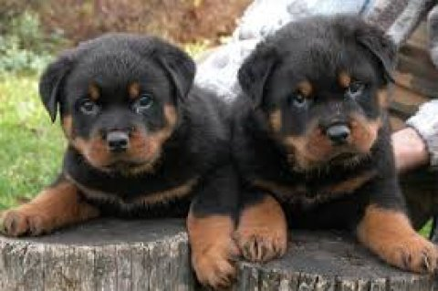 Pretty rottweiler puppies for Adoption