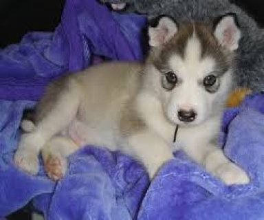 alaskan malamute Puppies Available for Re-homing