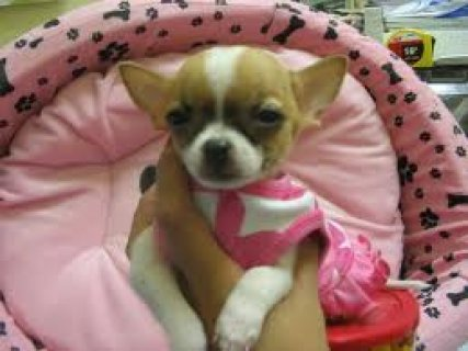 Affectionate chiwawa Puppies for Adoption