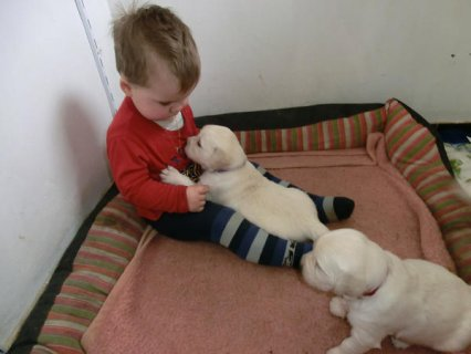 صور Golden Retriever Puppies For Quck Adoption	 1