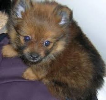 Pomeranian Puppie For Free Adoption