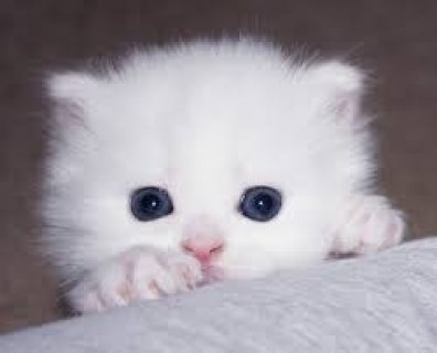 Adorable CFA Registered Persian Kittens for Sale!