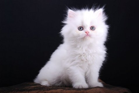 Female Teacup Persian Kitten for Adoption