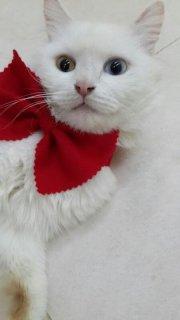 قطة شيرازية بيضاء للبيع