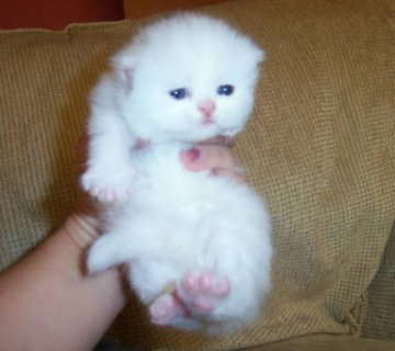 Cute White Persian female kitten for adoption6