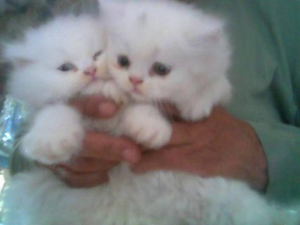 Persian Kittens for sale.66