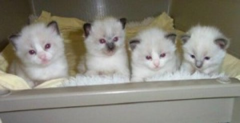 Ragdoll kittens New Years Addition to your family..