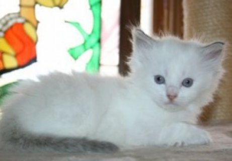 صور Playful Persian Kittens For New Homes 1