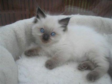 Ragdoll Kittens Ready for V day
