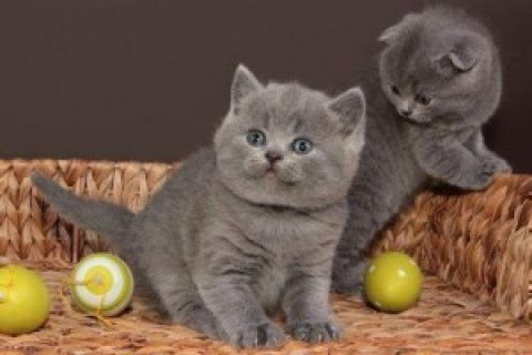 British Short/Long Hair Kittens For Sale,,,,,,,,,,,,