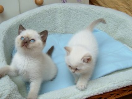 Beautiful Pedigree Ragdoll Kittens