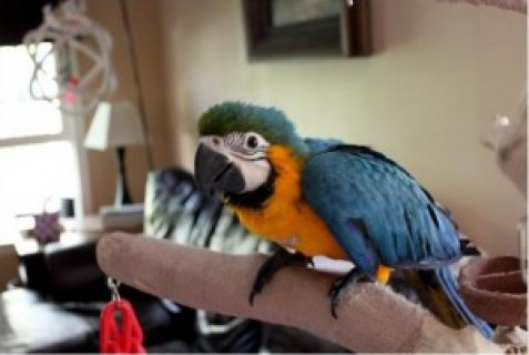 Talking Pair of Blue and Gold Macaw Parrots for Adoption