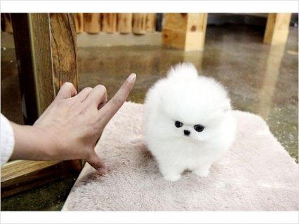 Teacup size Pomeranian puppies available2
