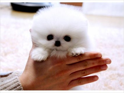 Teacup size Pomeranian puppies available, 5665
