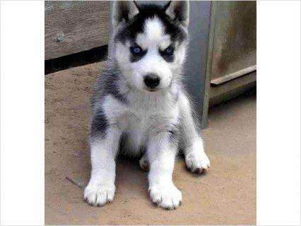 Siberian Husky puppies 3433