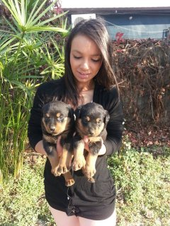 rottweiler dogs for sale