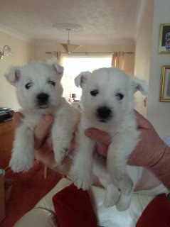 Adorable West Highland White Terrier their new homing