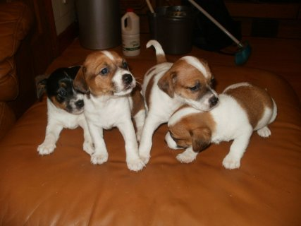 2 Jack Russell Terrier Pups