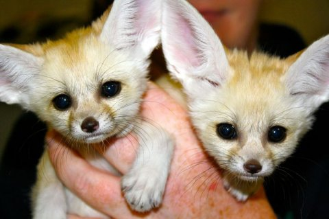 Clean Fennec Fox Babies Ready For Good Home text