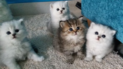 Beautiful Doll Face Persian Kittens