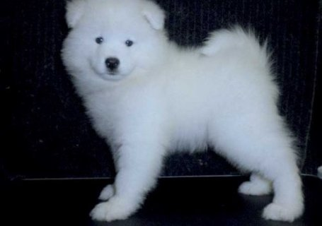 white Samoyed Puppies ready.