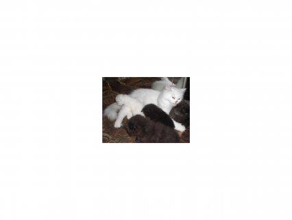 للبيع والحجز من الان 4 قطط شيرازي هاف بيكي فيس ومون فيس واحد رائ