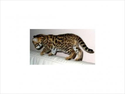 Adorable bengal kittens for rehoming