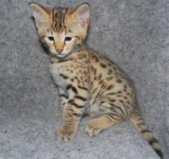 2  Beautiful Savannah kittens tica reg f2