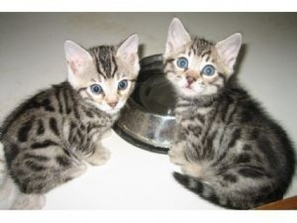 Adorable male and female BENGAL Kittens Available For Adoption
