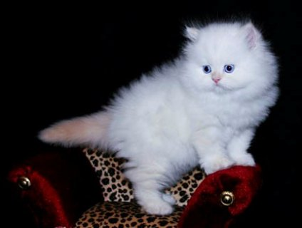 Teacup Persian Kittens For Sale. Q3Q