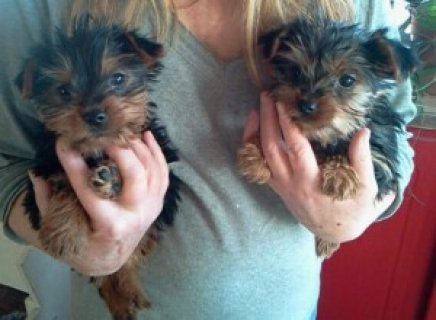 Exceptional Tea-Cup Yorkie Puppies