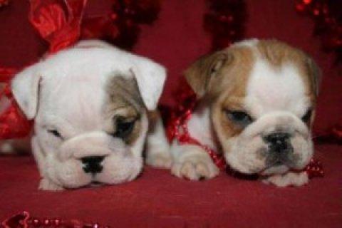 English Bulldog Puppies For Sale....