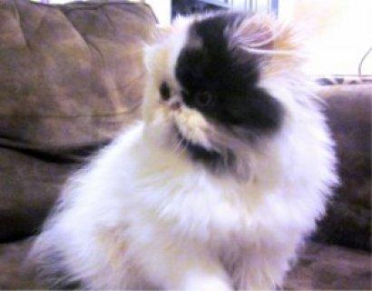 3 Beautiful Persian Kittens