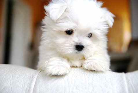 Marvelous Teacup Maltese Puppies For Adoption