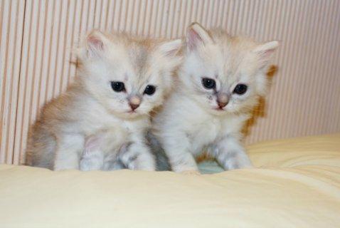 قطط شيرازي رمادي للبيع