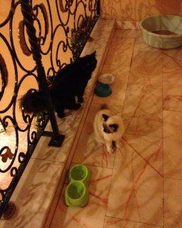 للبيع قطة انثى هملايا