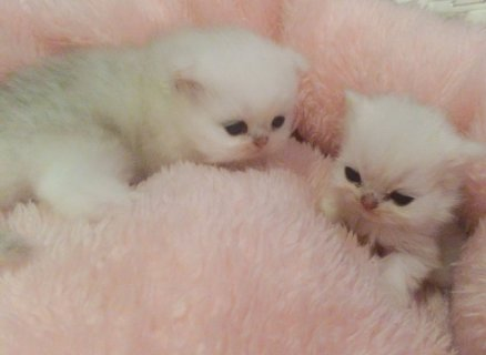 Colourpoint Ragdoll Kittens For Sale