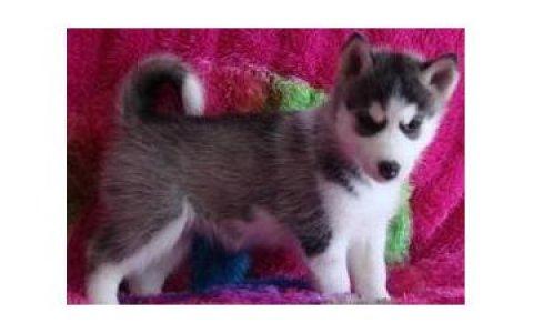 Seberian Husky Puppies For Adption