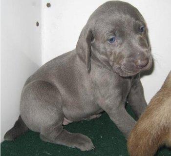 Weimaraner puppies for adoption