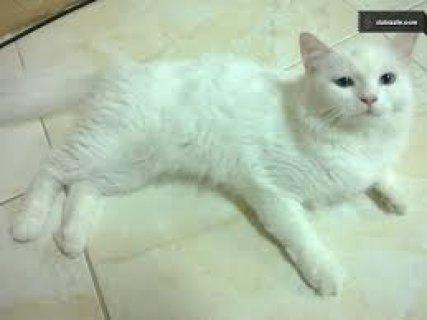 للبيع قطة امريكى بيضاء فى مرحلة التزاوج 300 ريال