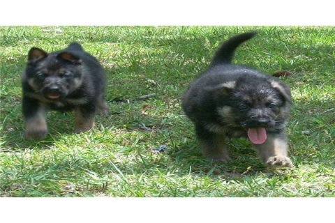 Two German shepherd puppies for adoption4444