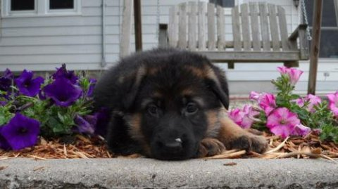 2 German Shepherd puppies for RehomingQ21