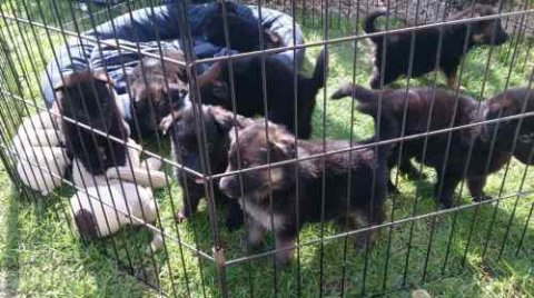 Cute Male and Female German Shepherd Dog Puppies For good home
