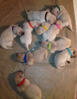 Cute Golden Retriever Puppies ready for a new home